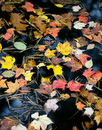 Colorful Leaves, Black Water